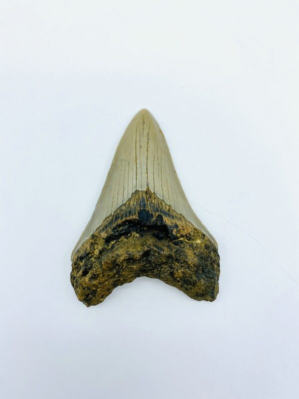 Megalodon (Shark) Tooth - Carcharocles megalodon - 8,75cm