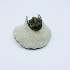 Cornuproetus cornutus trilobite from 3cm - Jbel Oufatène (Morocco)