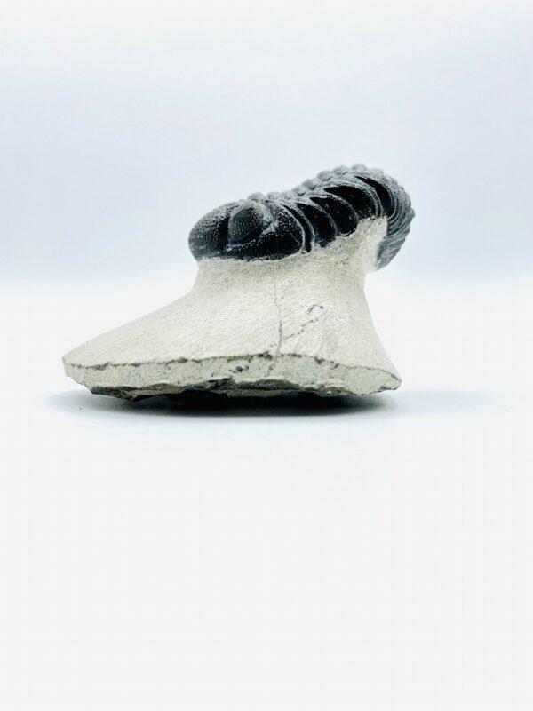 Phacops Rana Africana trilobite, Alnif, Morocco - 4,1cm