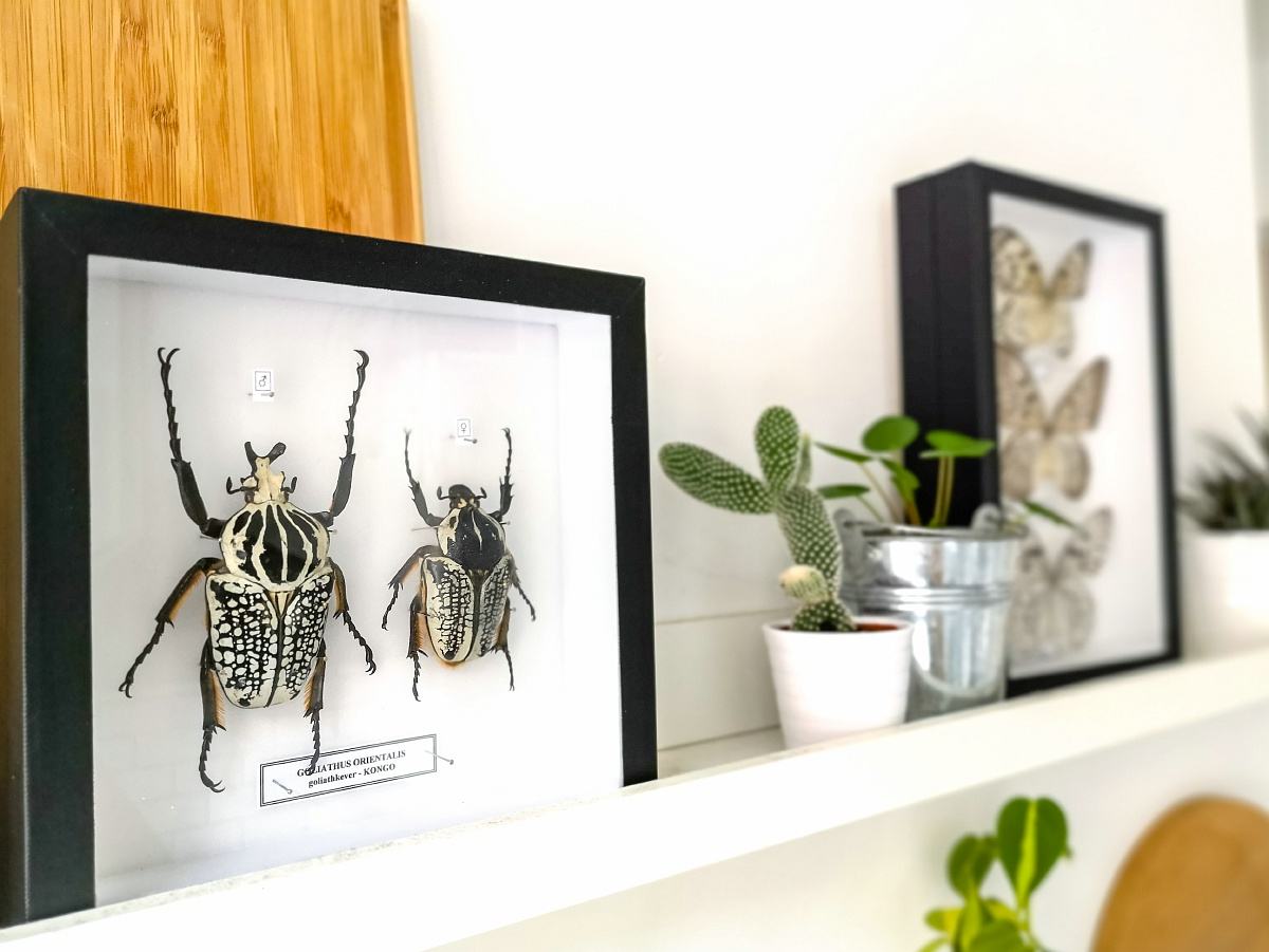 The 6 Goliath Beetle Species and their facts