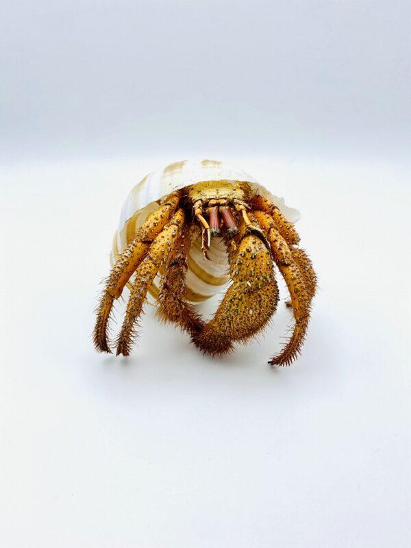 White-spotted Hermit Crab - Dardanus megistos - 12cm