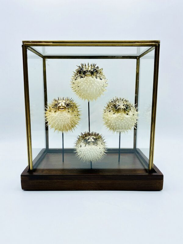 Unique Victorian porcupine fish display with 4 specimens