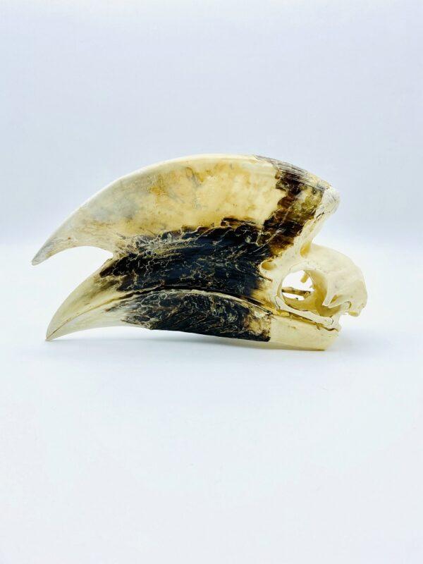 Large male White-thighed Hornbill skull - Bycanistes albotibialis - 18,6cm