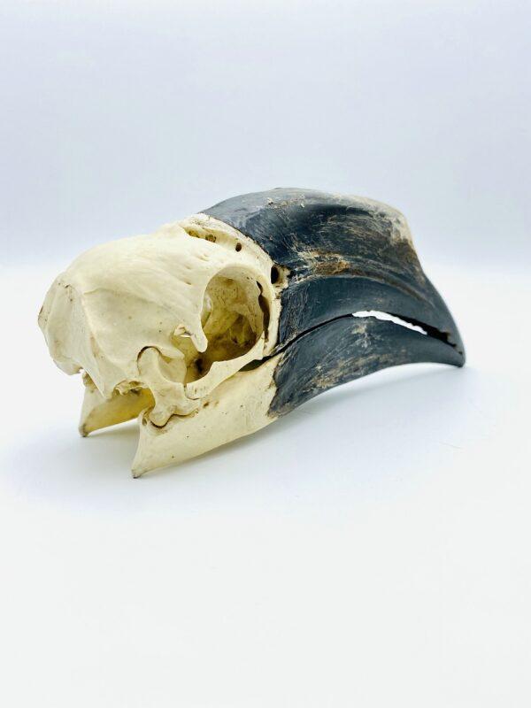 Female Black-casqued Hornbill skull - Ceratogymna atrata - 16,8cm