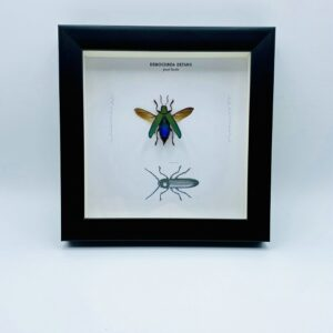 Wooden frame with spread jewel beetle (Demochroa Detanii) and illustrations