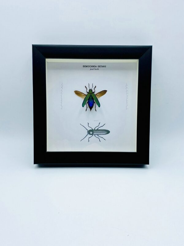 Wooden frame with spread jewel beetle (Demochroa Detanii) and illustrations