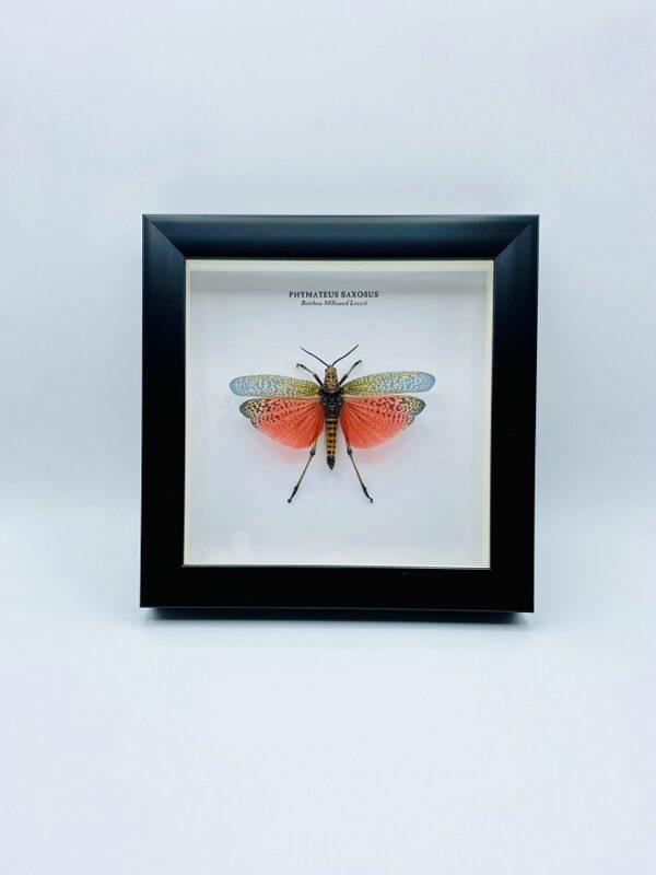 Wooden frame with Rainbow Milkweed Locust (Phymateus saxosus)