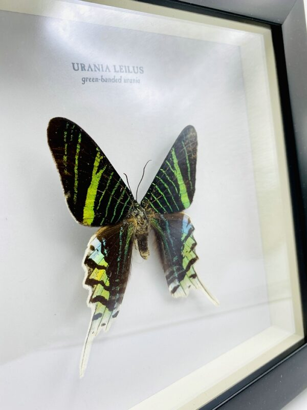 Wooden frame with Green banded urania (Urania Leilus)