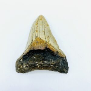 Megalodon (Shark) Tooth - Carcharocles megalodon - 9,6 cm