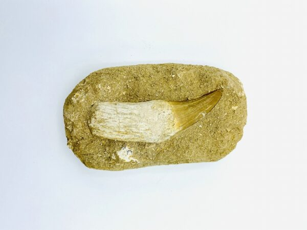 Large Mosasaurus tooth (10 cm) from Khouribga, Morocco