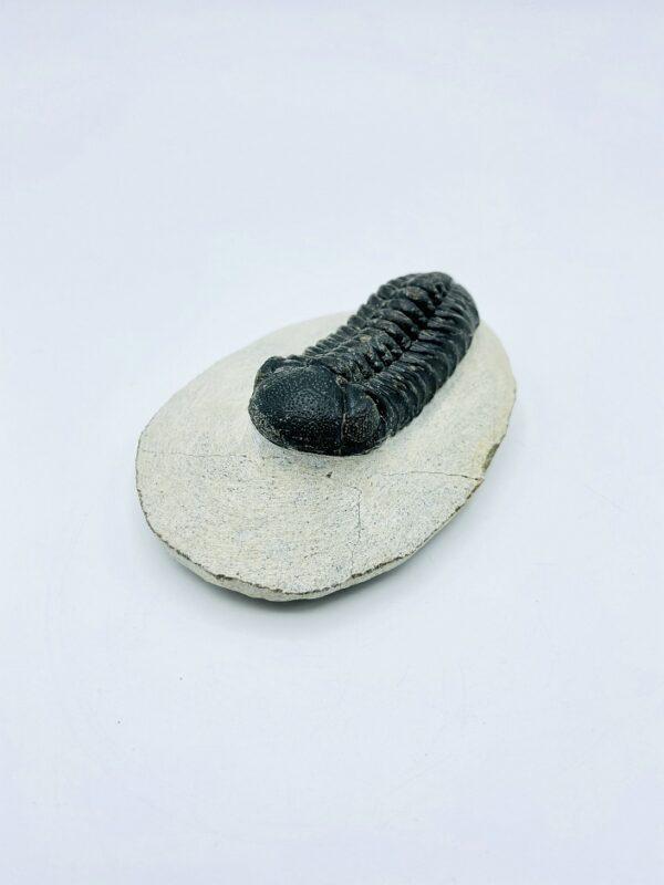 Phacops Rana Africana trilobite, Alnif, Morocco - 5,8 cm