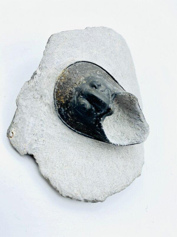 Rare Harpes Perriradiatus trilobite from Alnif, Morocco