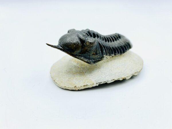 Fine prepared Morocconites Malladoides trilobite, Morocco - 7,3cm