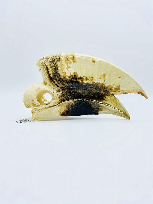Large male White-thighed Hornbill skull - Bycanistes albotibialis - 20cm