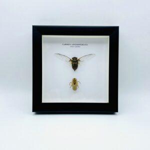 Wooden frame with Cicada (Carineta apicoinfuscata) + exeskeleton