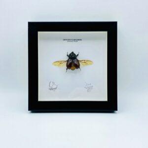 Wooden frame with spread rhino beetle (Oryctes Nasicornis)