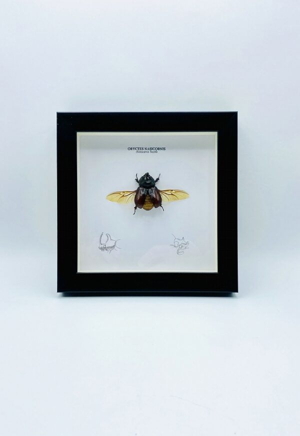 Wooden frame with spread rhino beetle (Oryctes Nasicornis)