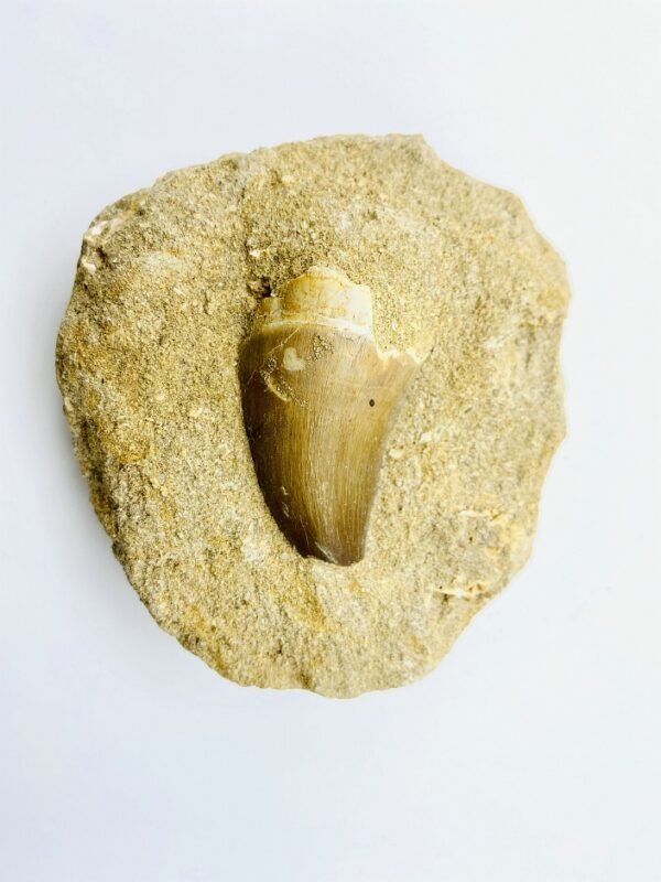Mosasaurus tooth in matrix from Khouribga, Morocco