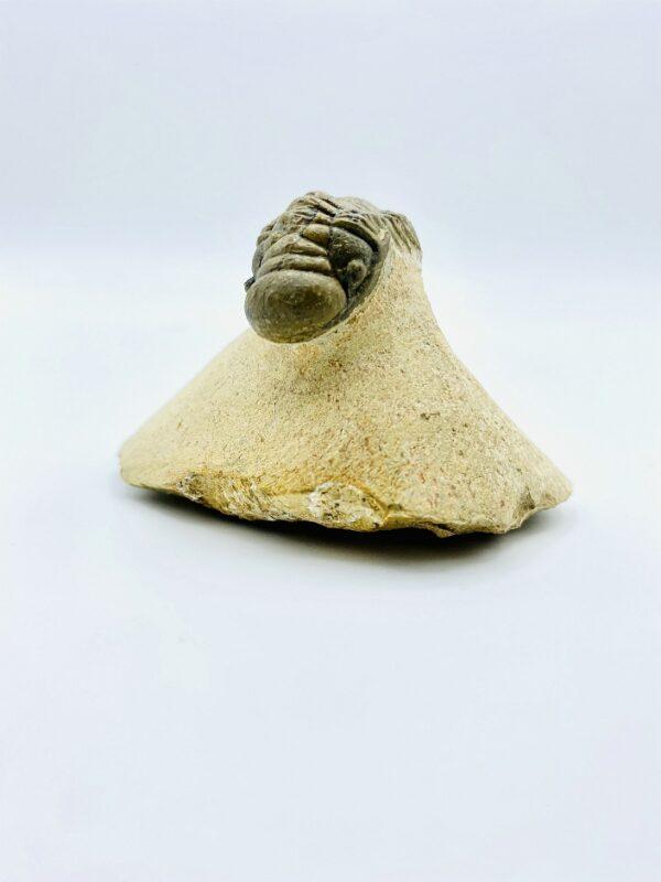 Crotalocephalus gibbus trilobite, Alnif, Morocco - 3cm (rolled up)