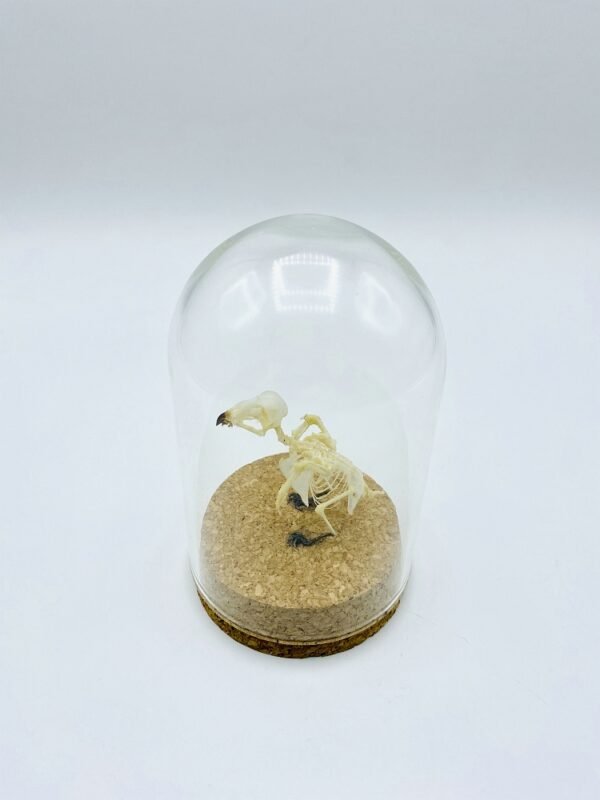Glass dome with skeleton of Glossy Swiftlet