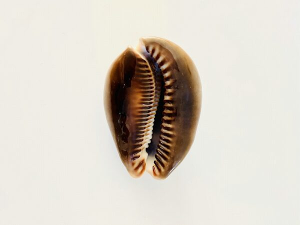Large Cypraea Mauritiana Regina, Philippines (8,3cm)