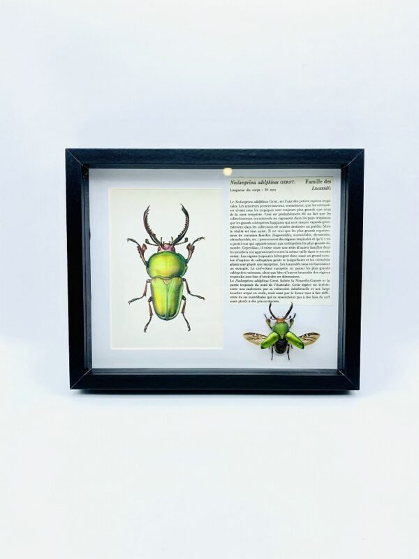 Framed spread stag beetle (Lamprima adolphinae) with illustration & text
