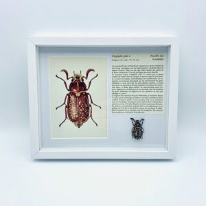 Framed Polyphylla fullo with illustration & text