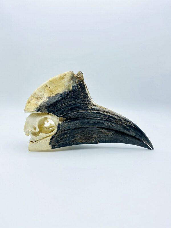 Male Yellow-casqued Hornbill skull - Ceratogymna elata - 21 cm