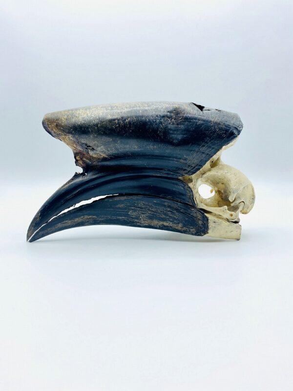 Male Black-casqued Hornbill skull - Ceratogymna atrata - 19,4 cm