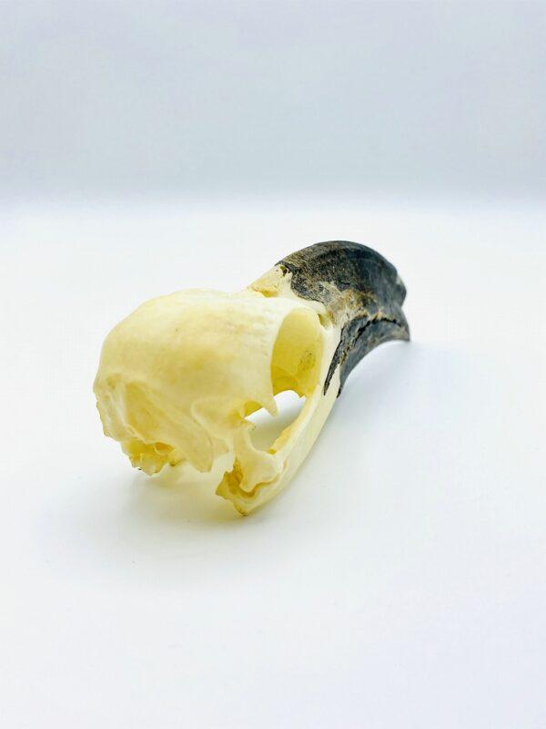 White crested Hornbill skull - Horizocerus albocristatus - 13 cm