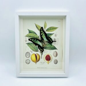 Framed glassy bluebottle (Graphium cloanthus) with illustration