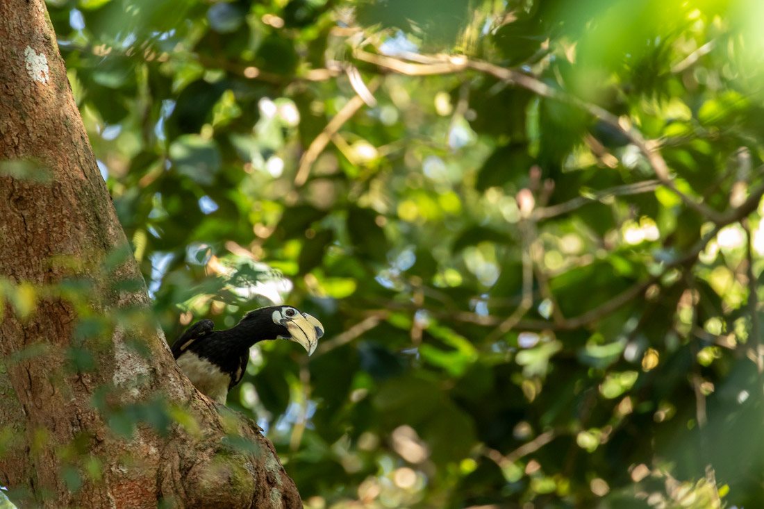 Oriental Pied Hornbill - Hornbill species of the world (update 2020)