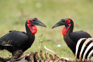 Southern Ground Hornbill - Hornbill species of the world (update 2020)