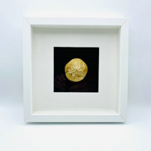 Wooden frame with fossilized Sand dollar (Mepygurus marmonti)