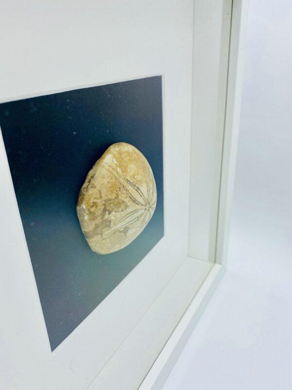Wooden frame with fossilized Sand dollar (Mepygurus marmonti)