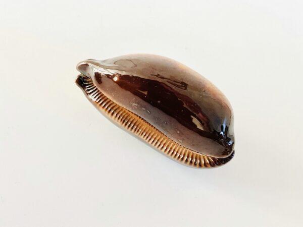 Chocolate banded cowry (Talparia talpa) Fiji (7,6cm)