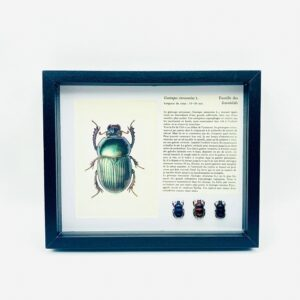 3 Framed earth-boring beetles (Geotrupes) with illustration & text