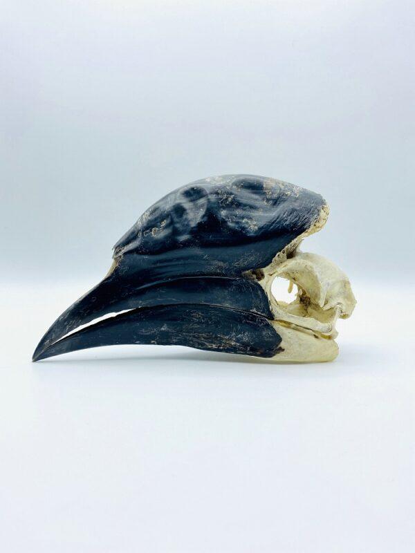 Male Black-casqued Hornbill skull - Ceratogymna atrata - 18,3 cm
