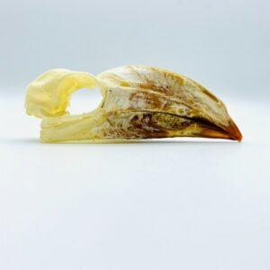 crowned hornbill skull - Lophoceros alboterminatus - 9,3 cm