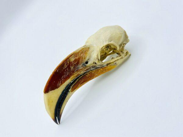 Male Von der Decken's hornbill skull - Tockus deckeni - 10,6 cm