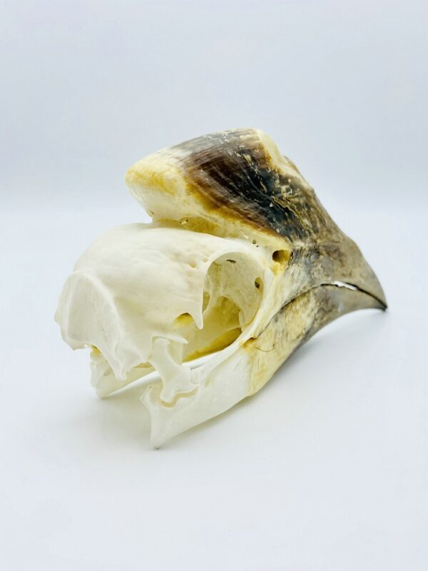 Female Silvery-Cheeked Hornbill skull - Bycanistes Brevis - 14,1 cm