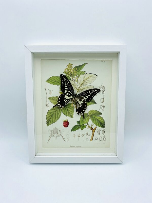 Framed Asian swallowtail (Papilio xuthus) with illustration