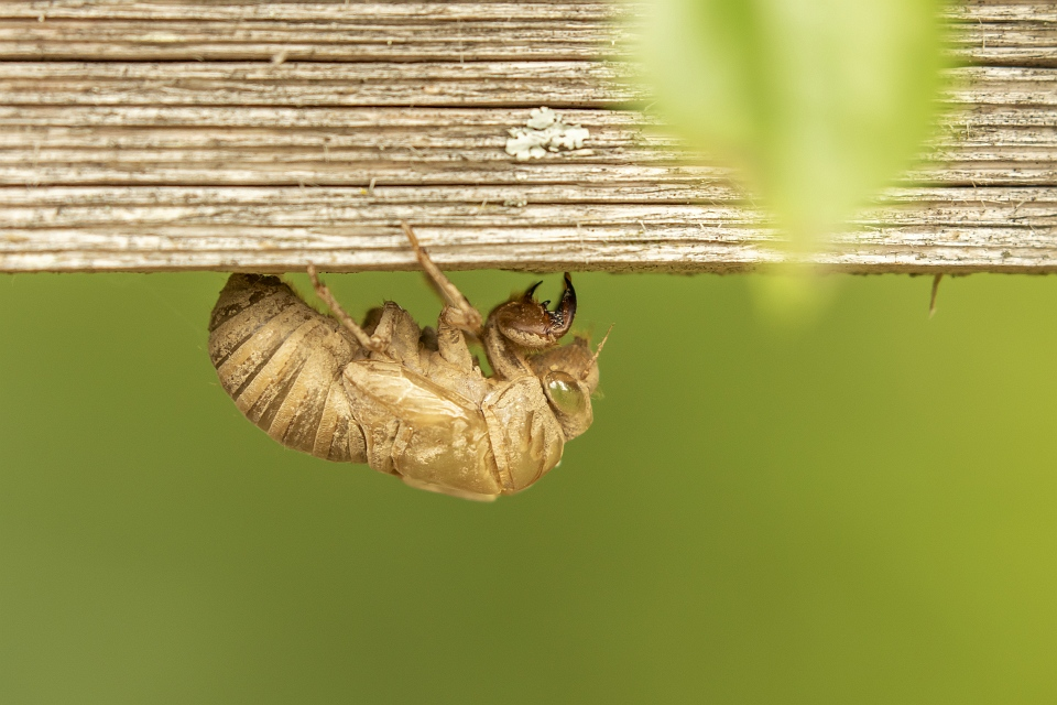 Cicadas and some cool facts