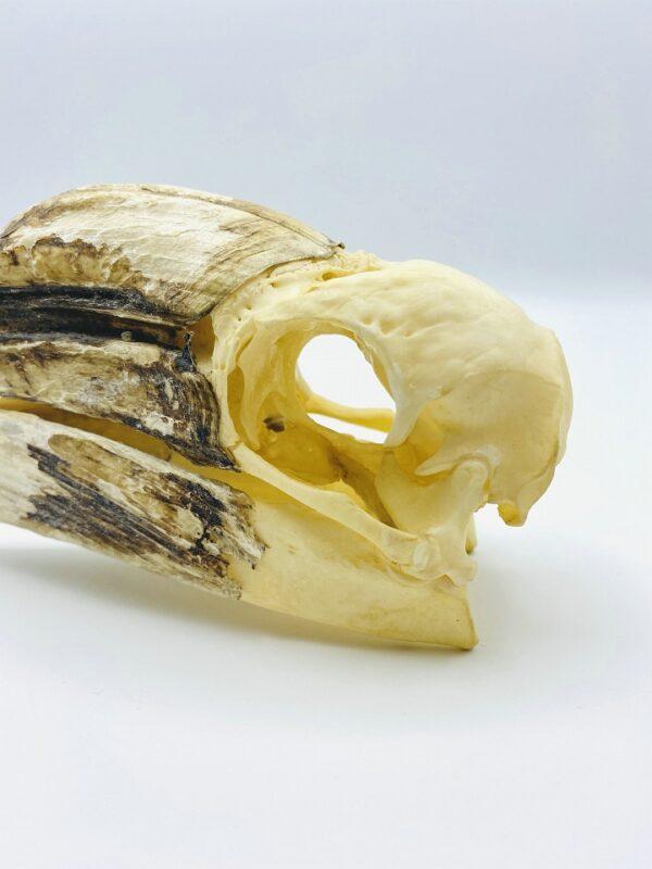 Female Yellow-casqued Hornbill skull - Ceratogymna elata - 19,5 cm