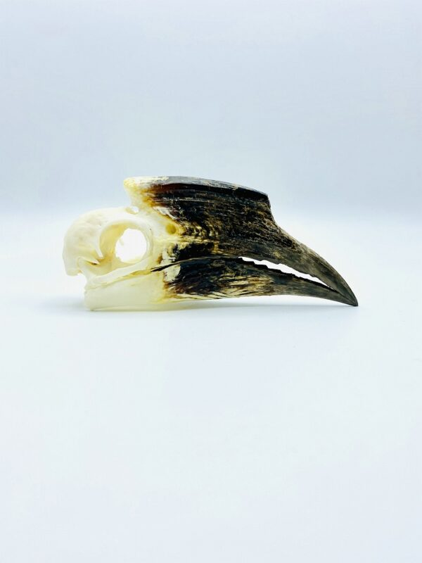 African Trumpeter Hornbill skull - Bycanistes Bucinator - 12,7 cm
