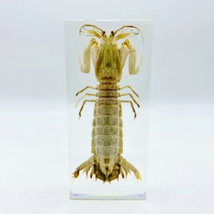 Large Mantis Shrimp (Stomatopoda) in a resin block