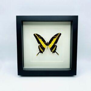 Black wooden frame with king swallowtail (Papillio thoas)