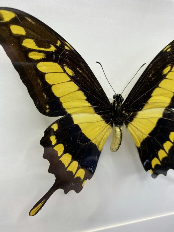Black wooden frame with king swallowtail (Papillio thoas)