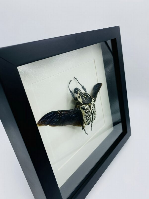 Black wooden frame with real Goliath Beetle (Goliathus Orientalis)