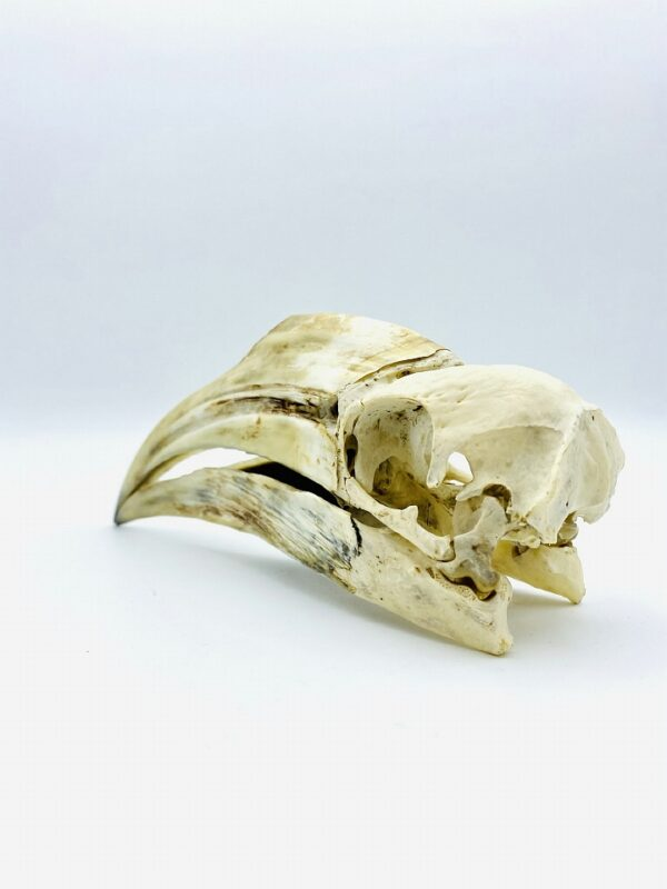 Female Yellow-casqued Hornbill skull - Ceratogymna elata - 18,5 cm